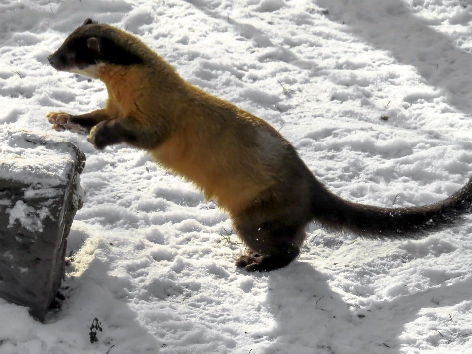 yellow-throated marten in winter