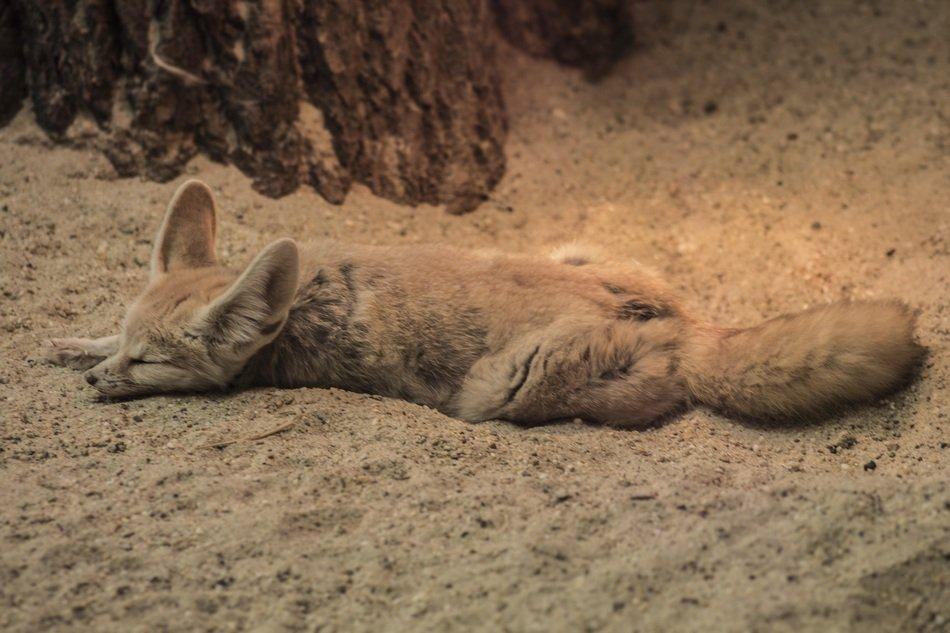 Fennec Fox is sleeping in the dessert