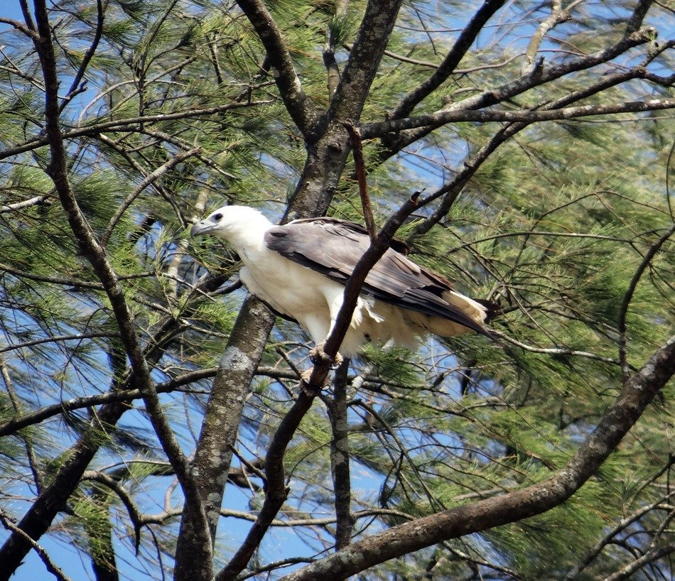 White-Bellied Eagle Bird