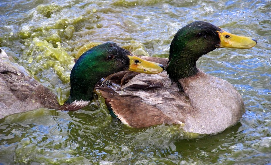 two mallards swim in the green water of a pond