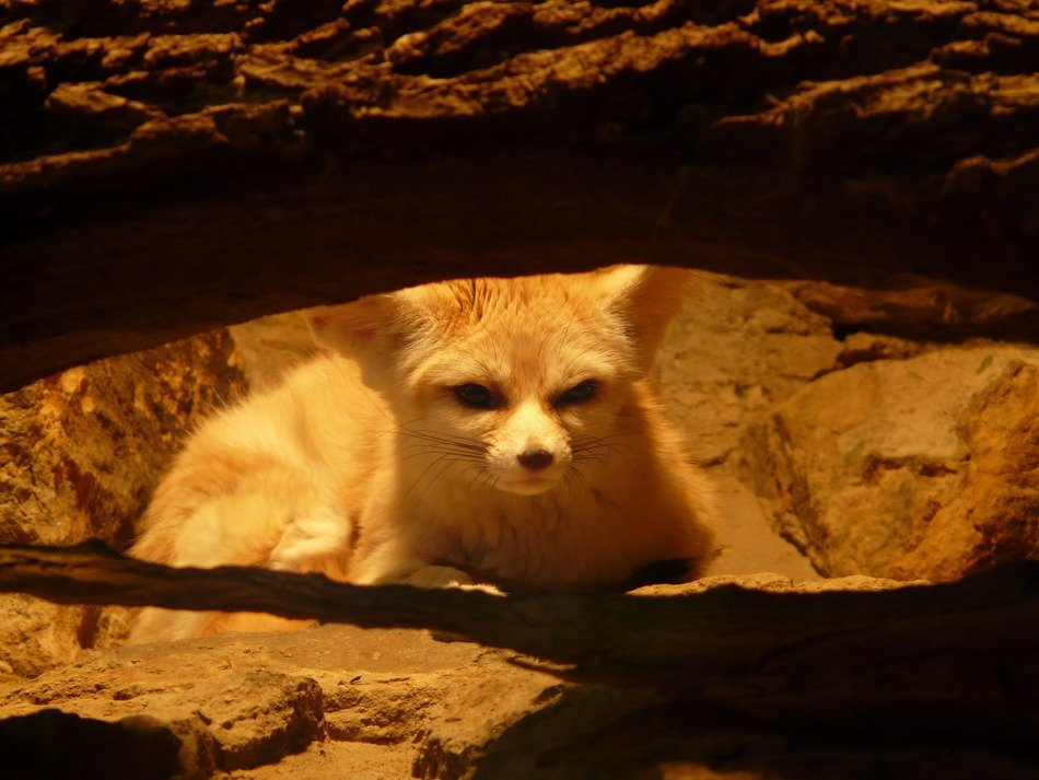 Cute, beautiful and colorful Fennec Fox in light