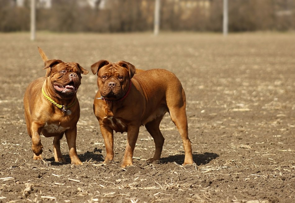two mastiff dogs