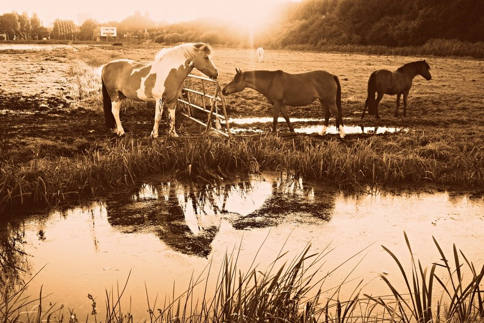 peacefully grazing horses