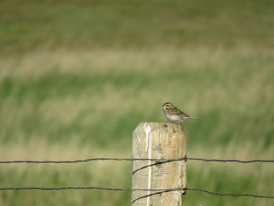 a sparrow sitting on a fence on a background of green grass
