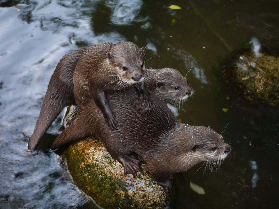 otter family on a stone in a pond