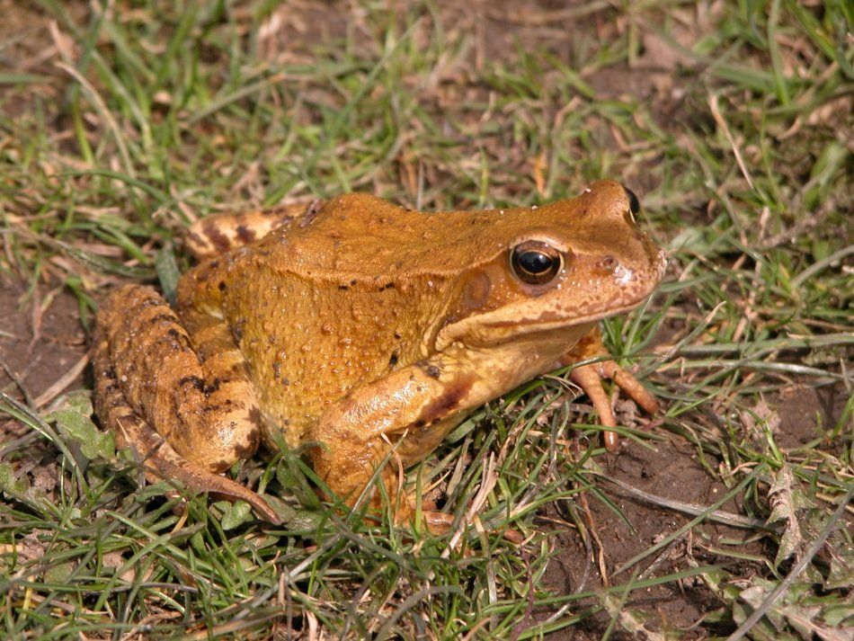 Common brown frog on grass close up
