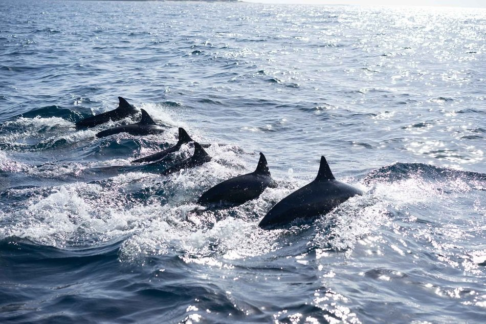 Dolphins in Ocean jumping
