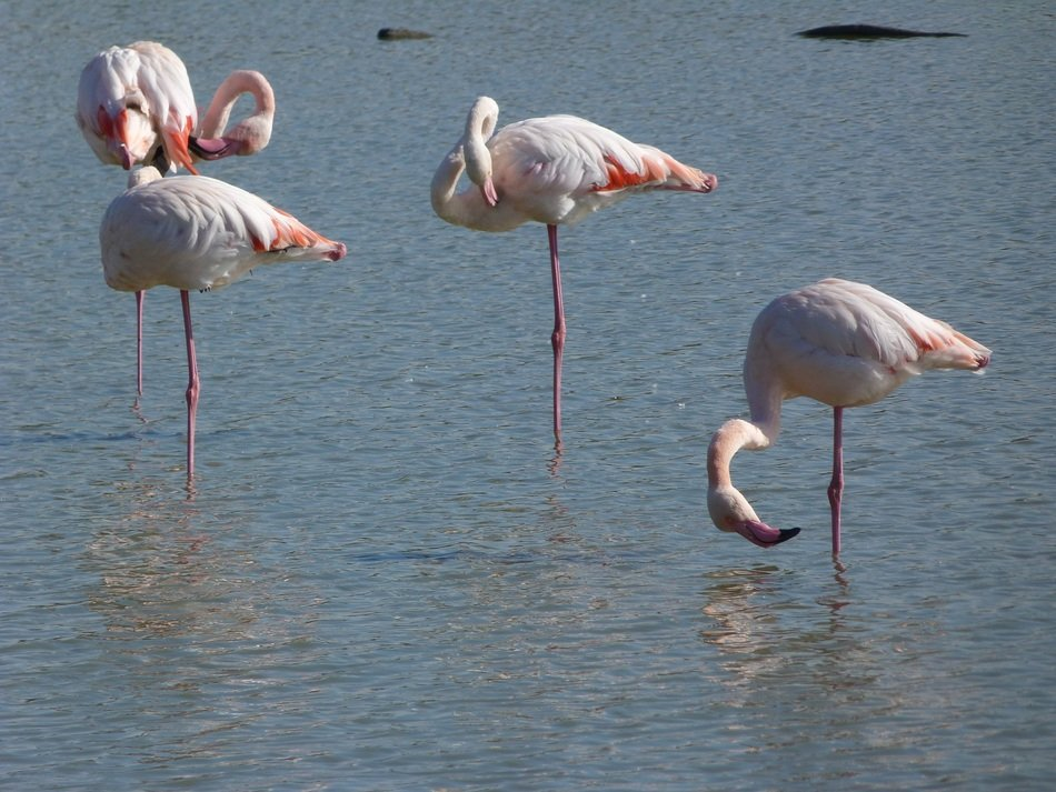 a flock of pink flamingos in the Camargue