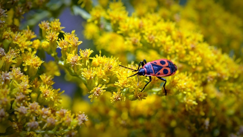 Beautiful black and orange Fire Beetle on the yellow and orange flowers