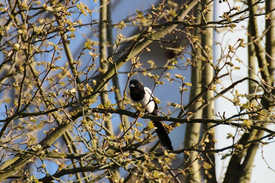 black white bird on a spring tree