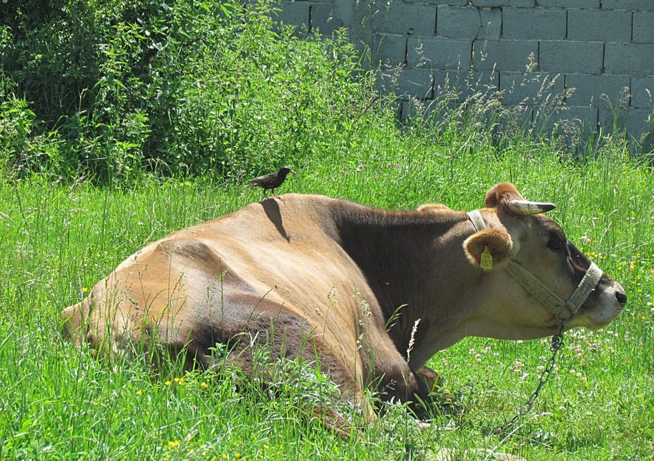 starling on a cow