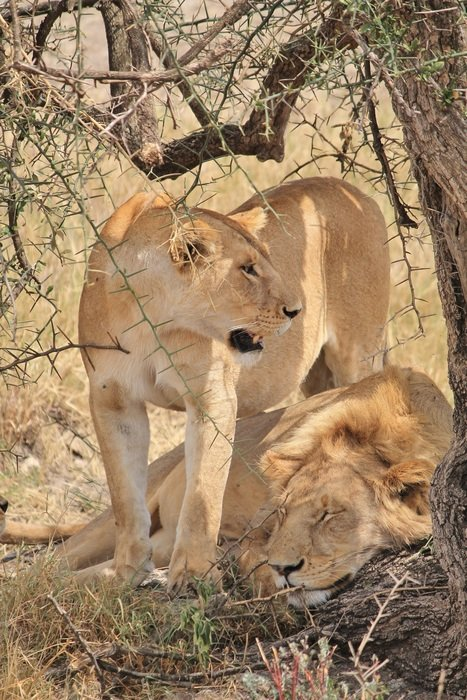 lions near a tree in africa