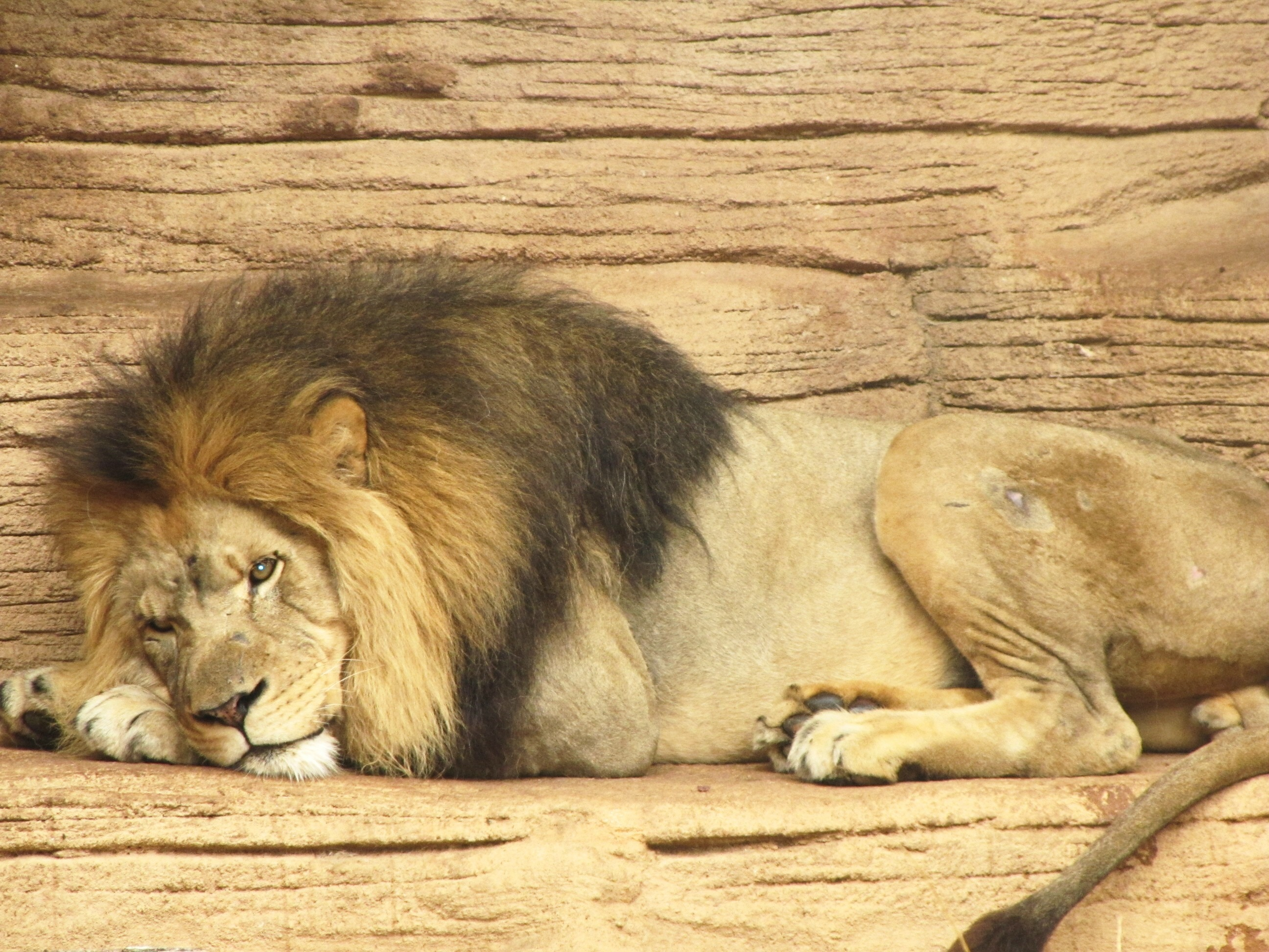 essay on wild animal lion The lion is a flesh eating animal he is one of strongest and fiercest of all flesh eating animals he is one of strongest and fiercest of all flesh eating animals the lion belong to the same species to which tiger, wolf, etc belong.