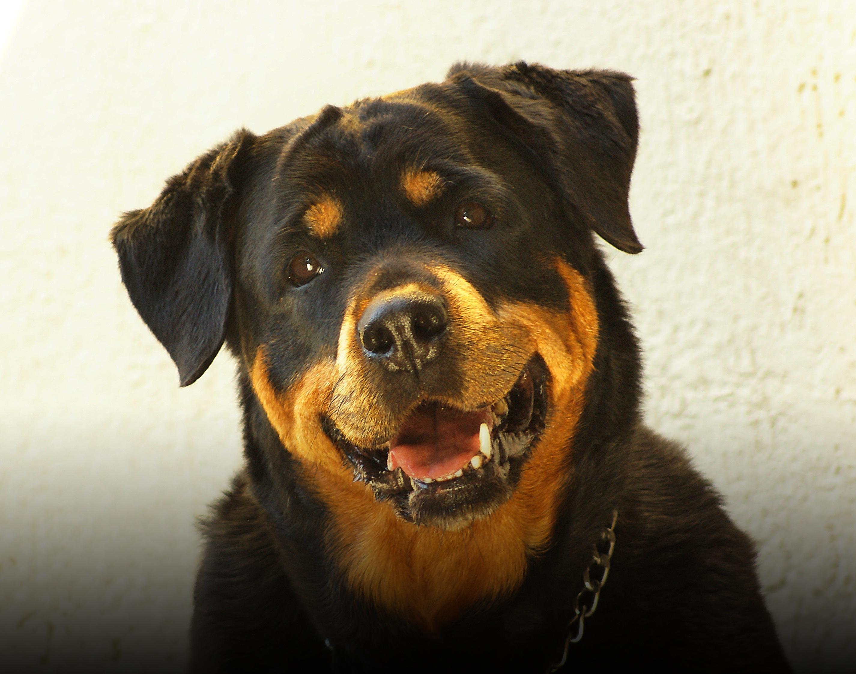rottweiler dog images - HD2851×2244