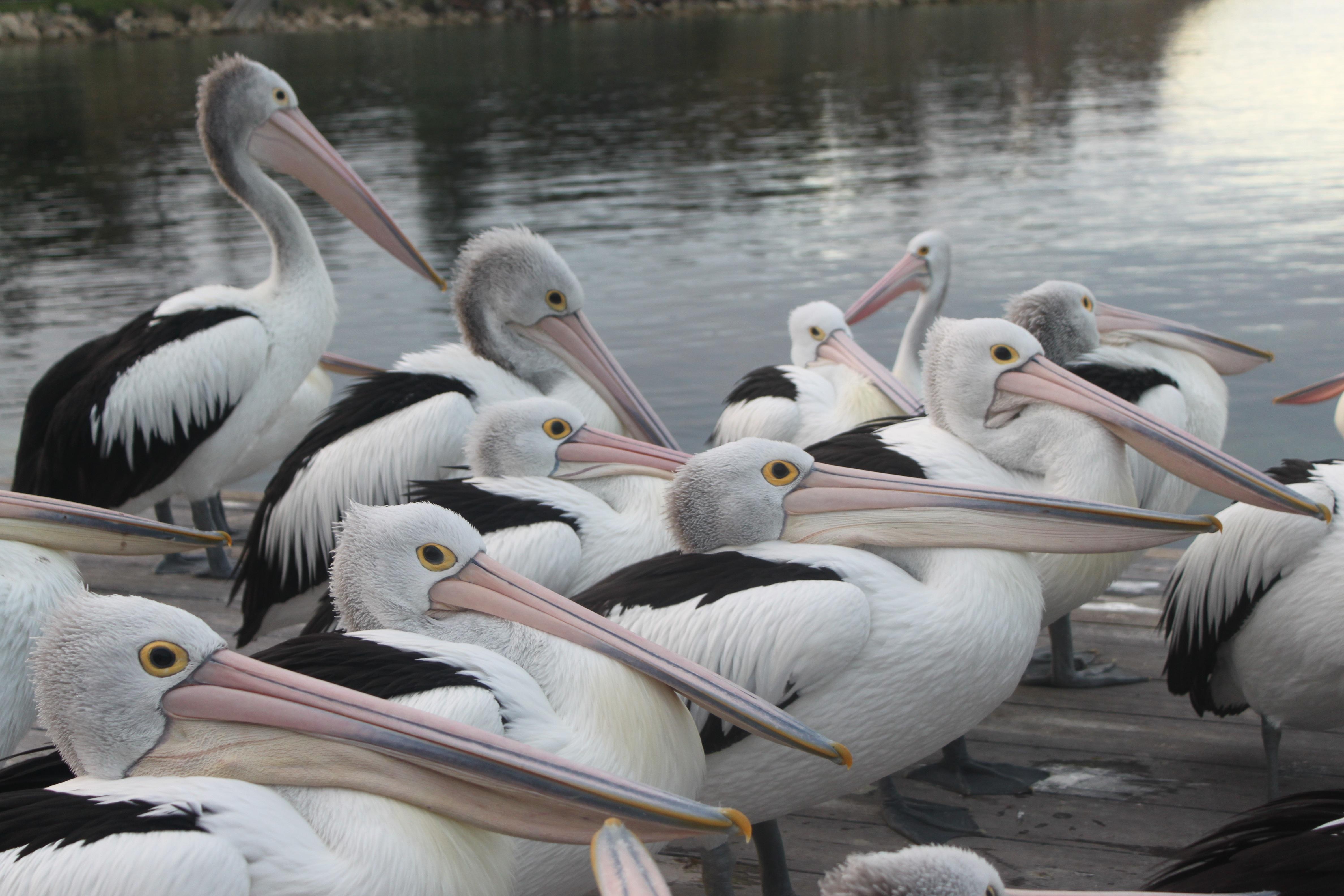 pelicans - HD4752×3168