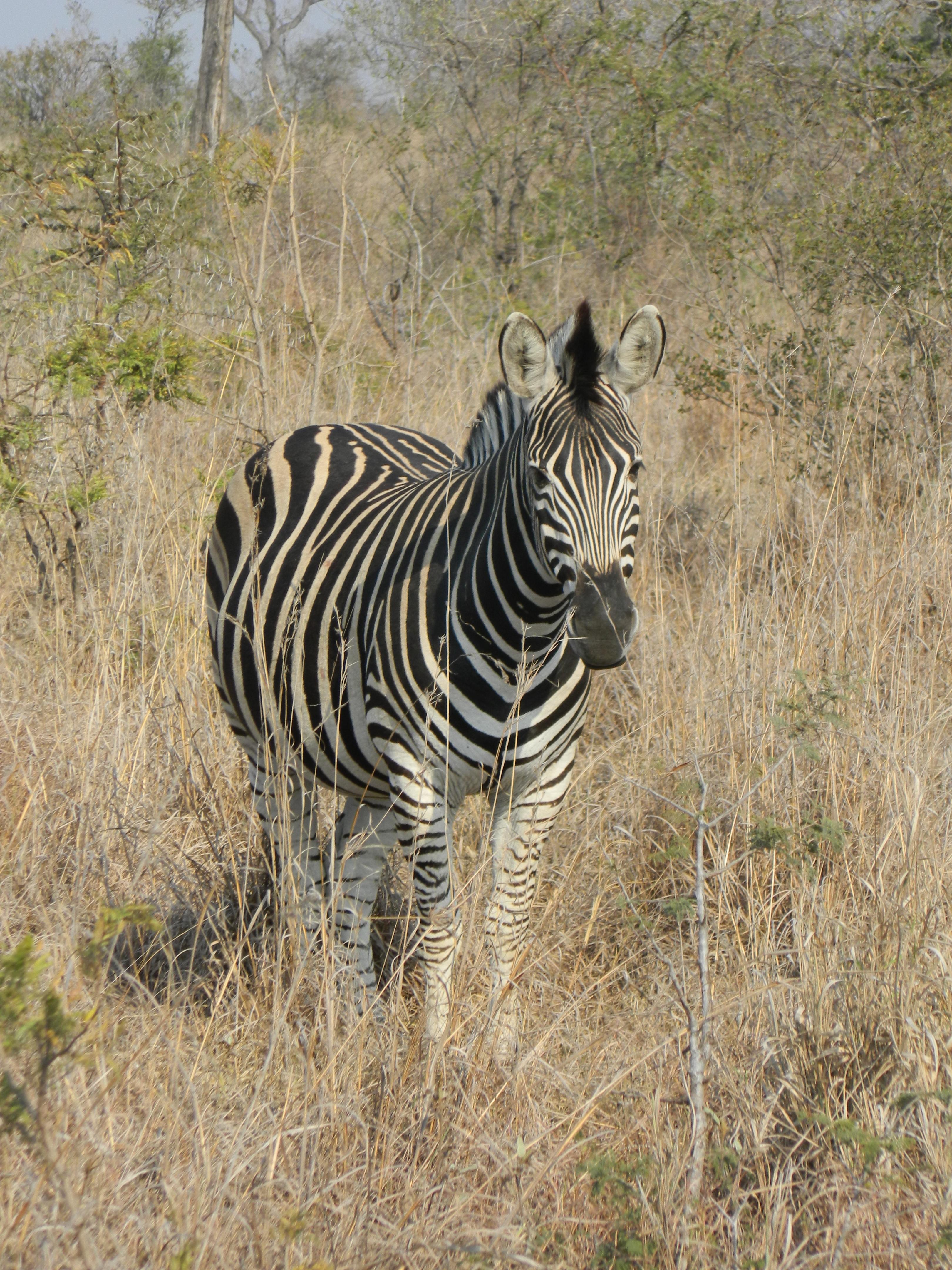 zebra wildlife south africa - HD3240×4320