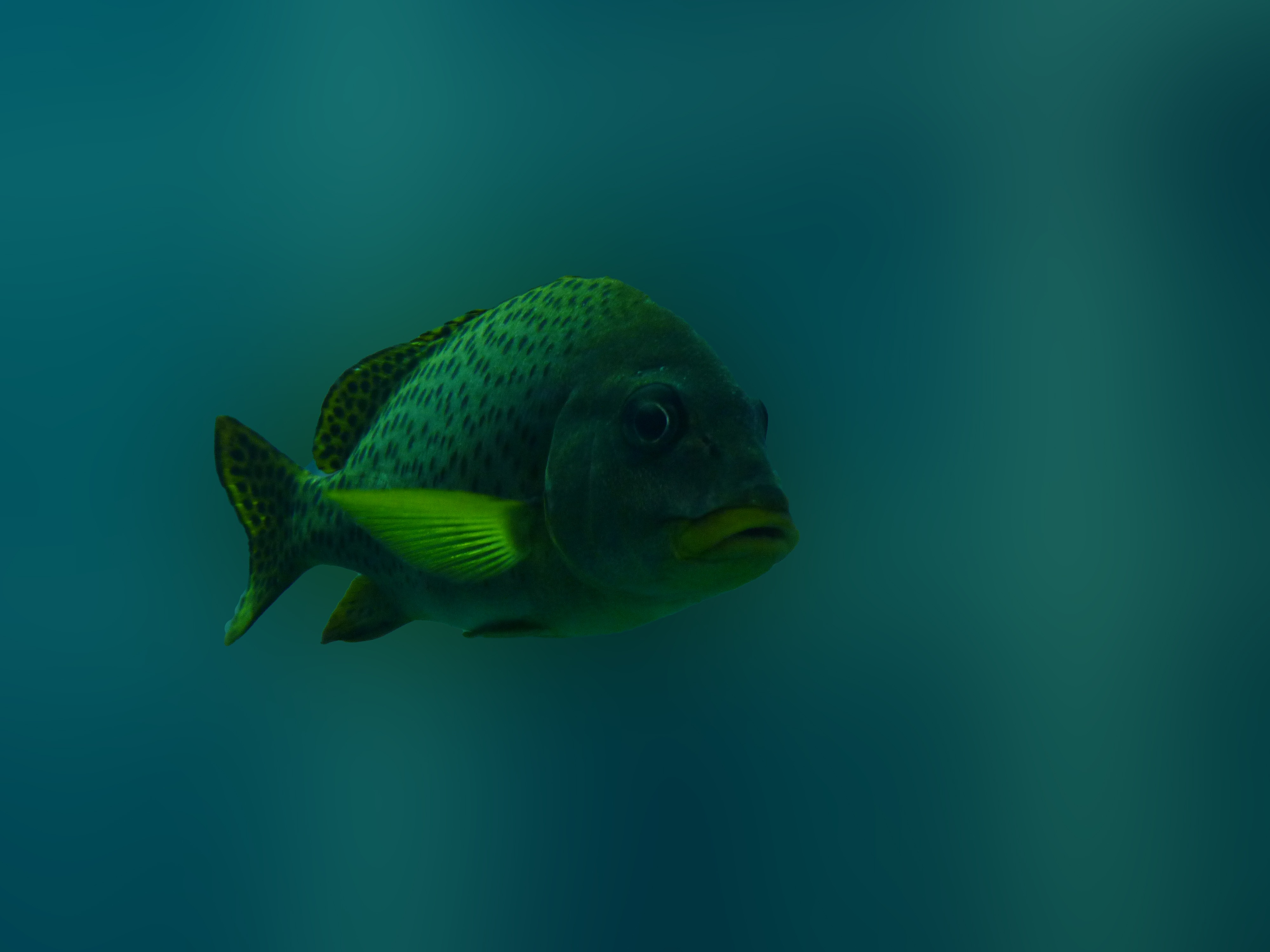 Lonely fish is swimming in dirty water free image
