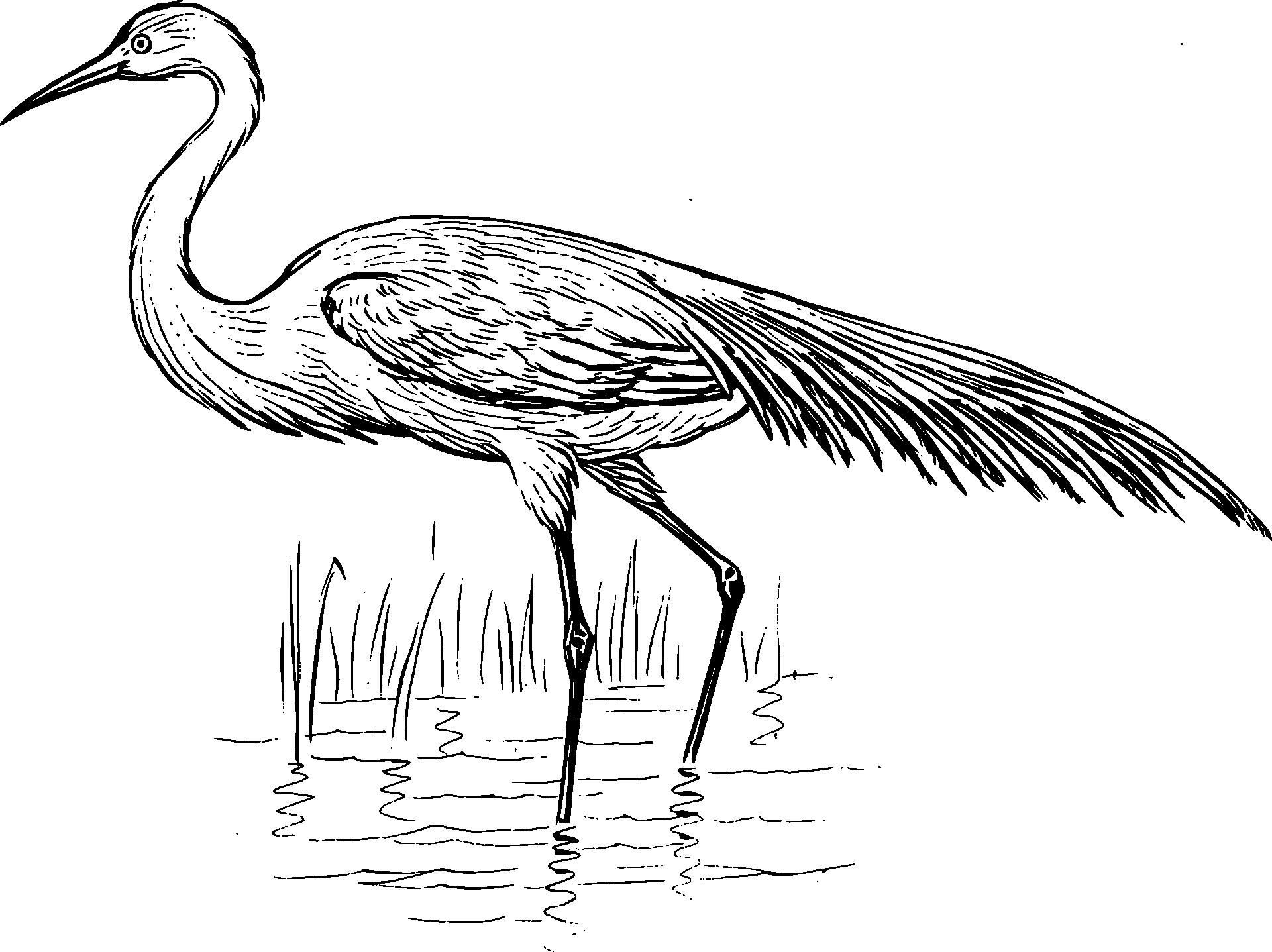 Egret Bird Standing In Water Sketch Free Image