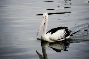 black and white pelican is swimming in a pond