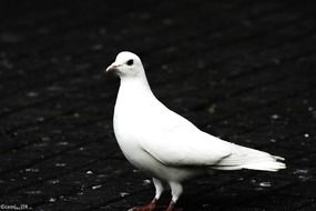 white dove on the black roof