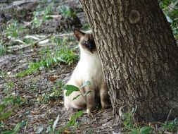 Siamese Cat in a forest