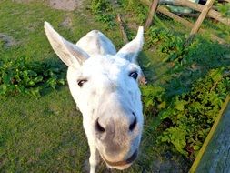 funny head of a white donkey close-up