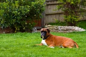 cute boxer on a green meadow