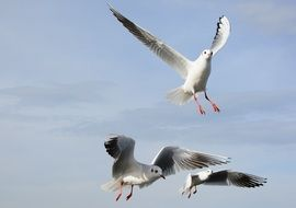 seagulls in free flight