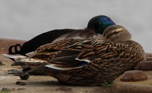 male and female mallards on the bank