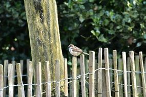 sparrow sitting on a fence near a tree