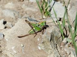 green grasshopper on the stones in the bright sun