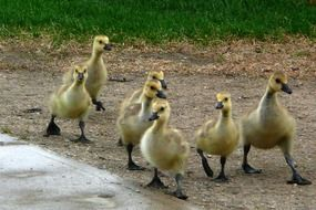 chicks of canadian geese