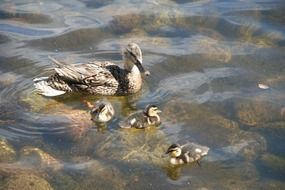 duck with ducklings on clear lake water