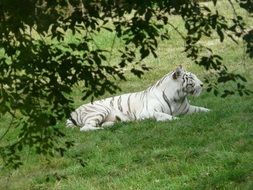 white tiger on green grass