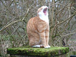 red Cat Yawn