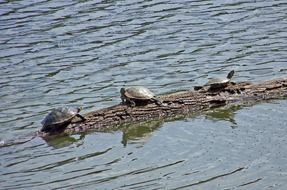 three turtles on a log in water