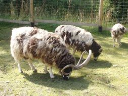 Four Horn Sheep in Zoo pasturing