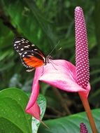 monarch butterfly on an unusual pink flower close-up