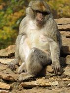 sitting macaque in the zoo
