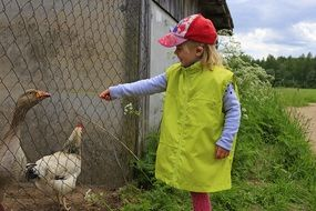 child in the farmyard near poultry