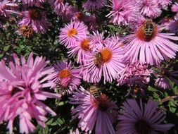 bees pollinating purple garden flowers
