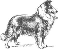 black and white drawing of a collie breed dog