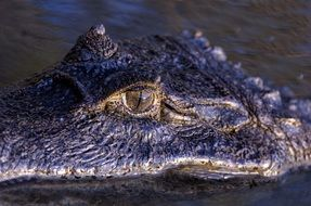Orinoco Crocodile Eye macro