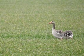gray goose is walking on green grass