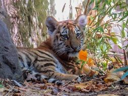 young tiger resting in a zoo