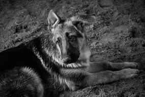 black and white picture of a german shepherd