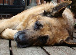 German Shepherd Dog relaxing portrait