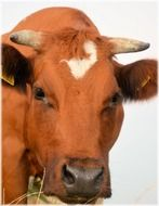 brown cow with horns