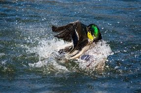 duck dives in water