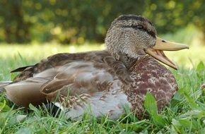 young duck on the meadow